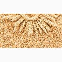 Поставляю пшеницу (5кл. ) по России, FCA, FOB