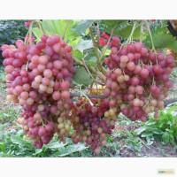 Саженцы и черенки винограда с доставкой до подъезда