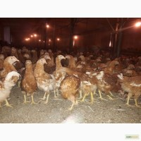 Молодняк куриц, возраст 100-120 дней