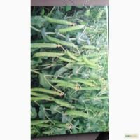 Продам семена овощного зеленого гороха, сорт Беркут 1 репродукция