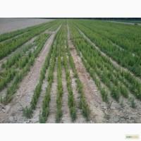 Продам сеянцы ели европейской 2-3 летка и сосны 1-2 лет