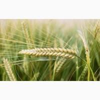 Семена Ячменя Ярового к посевной 2019