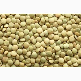 Продам Чечевица зеленая продовольственная тарелочная оптом от производителя