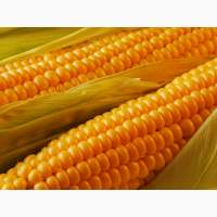 Семена кукурузы Росс 199 МВ (2016-2017 г.)