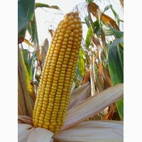Семена гибридной кукурузы Краснодарский 194 МВ