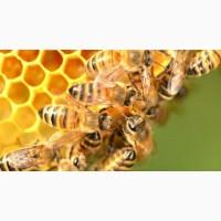 Пчелопакеты 4 рамки высшего качества