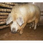 Хряк венгерской пуховой мангалицы 8 месяцев