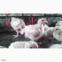 Молодняк с/х птицы оптовые цены, бройлер, индюшата, гусята, муларды, яйцо рос-308