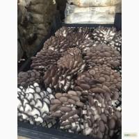 Продам гриб вешенку свежую оптом на постоянной основе
