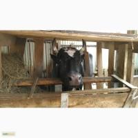 Молоко парное коровье