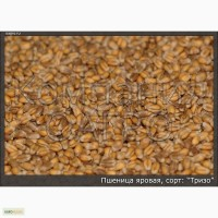 Пшеница яровая Тризо