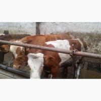 Крс мясных пород (сименталы, грейфорды