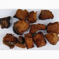 Чага берёзовый гриб