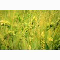 ООО НПП «Зарайские семена» продает оптом семена ржи озимой урожая 2019 года