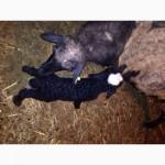 Продам овец, ярки, ягнята, на мясо и разведение в г. Обнинске