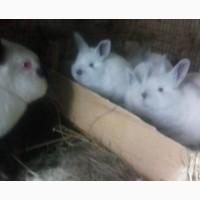 Кролики мясных пород - КАЛИФОРНИЙЦЫ
