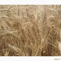 Семена озимой пшеницы сорт Ермак элита
