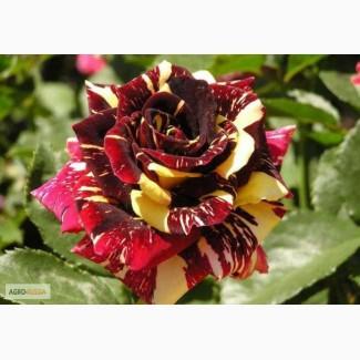 Продам саженцы роз с окс