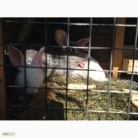 Продам мясо кролика