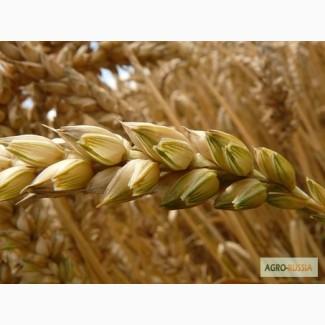 Семена Озимой пшеницы Табор