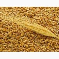 Пшеница(50кг) фураж
