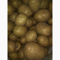 Картофель 2018 оптом от производителя сорт Ред Скарлет, Гала калибр 5
