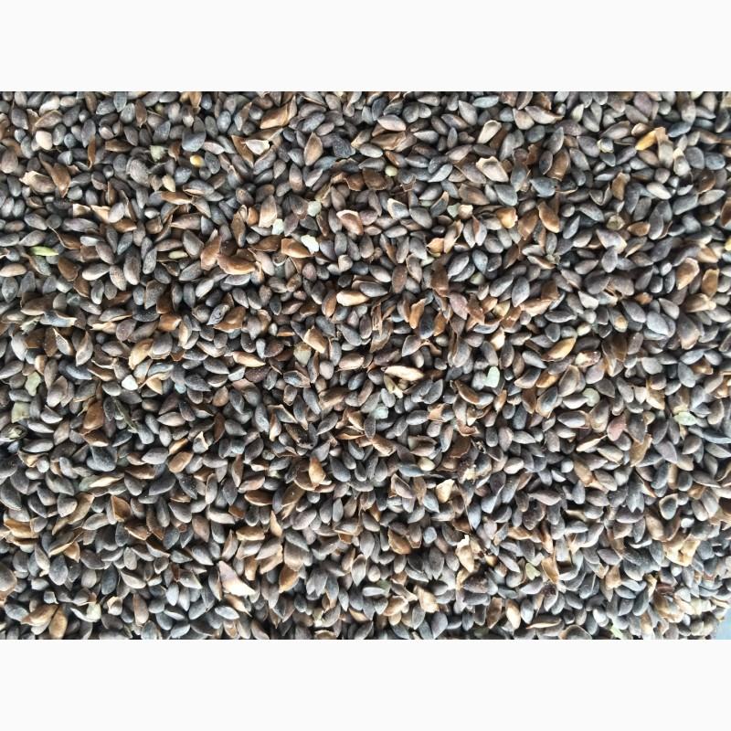 семена сосны сибирской купить
