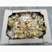 Продам гриб вешенка на переработку
