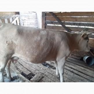 Продам коров, лошадей