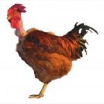 Яйца инкубационные кросса Красные голошейные