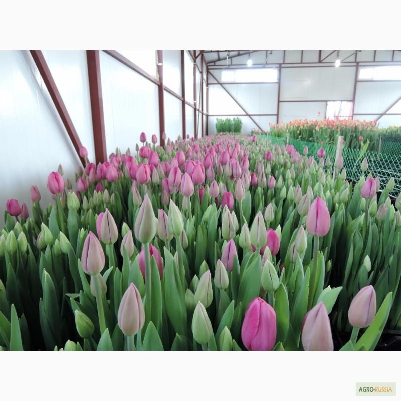 Тюльпаны луковицы купить оптом в москве живые анимированные обои красивые цветы весенняя природа