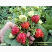 Продажа семян, саженцев ремонтантной клубники(садовой земляники)