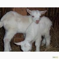 Продам козу, козлят зааненской породы