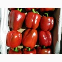 Болгарский разноцветный перец по цене от надежного производителя
