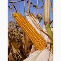 Cемена гибридной кукурузы Росс 140 СВ