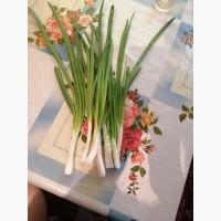 Продам Зеленый лук сообственного произвотства