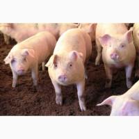 Продаем свинья товарная в живом весе, свиньи живок