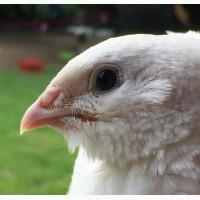 Инкубационные яйца Индопёлок
