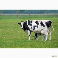 Куплю молочных и мясомолочных бычков телок и коров