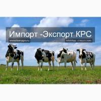 Продажа племенных нетелей молочного направления с продуктивностью от 7000 за лактацию по