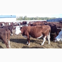 Куплю крс(телки, коровы, быки)в