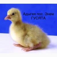Суточные Индюшата, Цыплята, Утята, Гусята, Цесарята