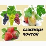 Саженцы винограда, кустики клубники от производителя -почтой по России, Казахстана