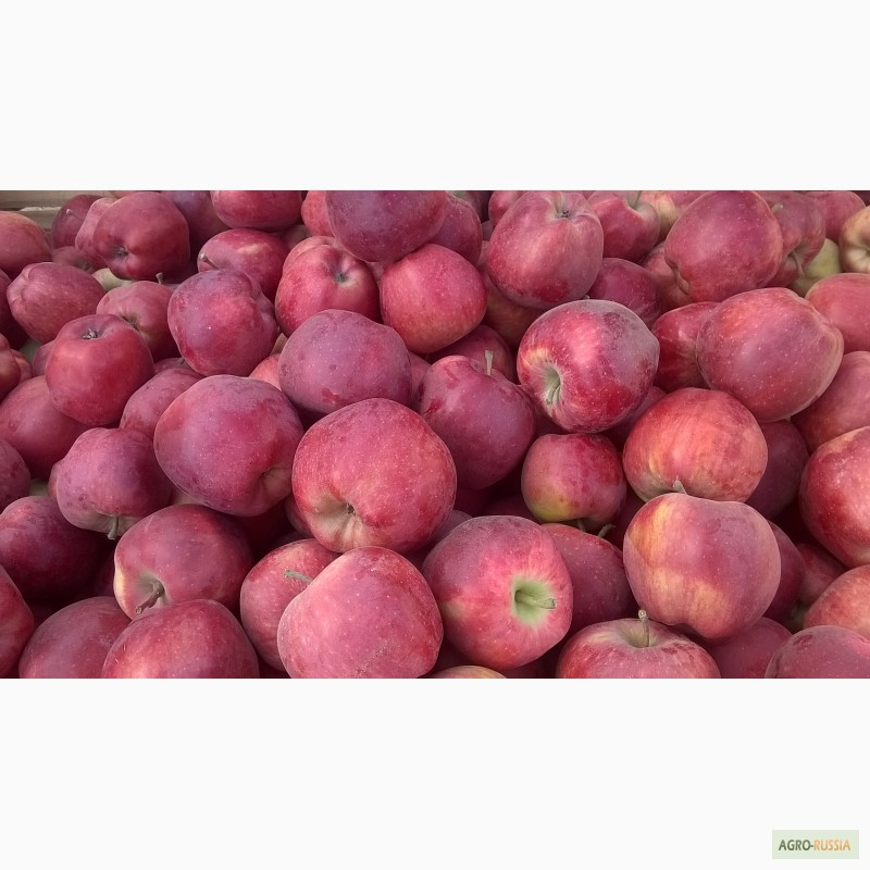 фото российские яблоки
