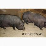 Свиноматки вьетнамские вислобрюхие