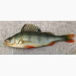 Продажа живой и свежемороженной рыбы от Производителя