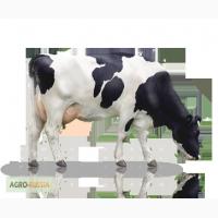 Коровы черно-пестрые