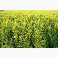 Куплю семена многолетних трав