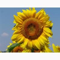 Семена подсолнечника Призёр (гибрид среднеранний)