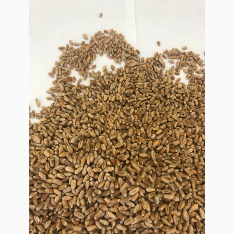 Фото 3. Оптом Пшеница Зерно